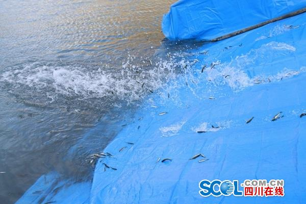 突破关键技术雅砻江公司在两河口水电站放流鱼苗15万尾